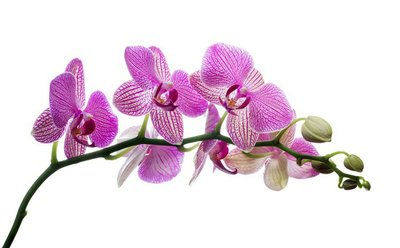 isolated orchid blossom in dark pink strips