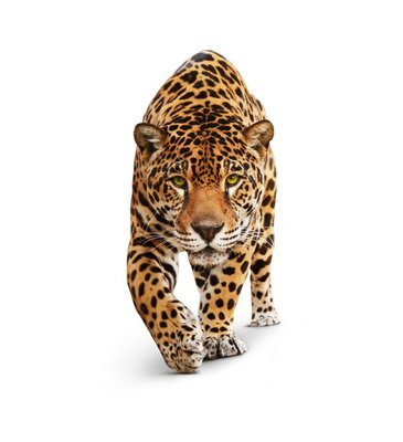 Jaguar - animal front view, isolated on white, shadow