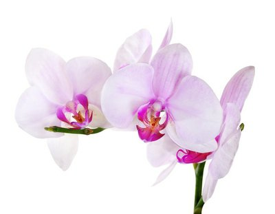 orchids with pink centers on branch