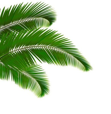 Palm leaves on white background. Vector illustration.