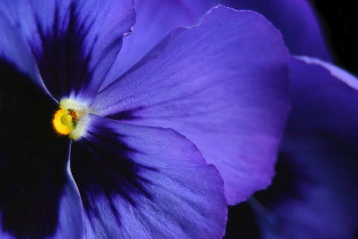 perfect pansy