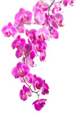 pink flowers orchid