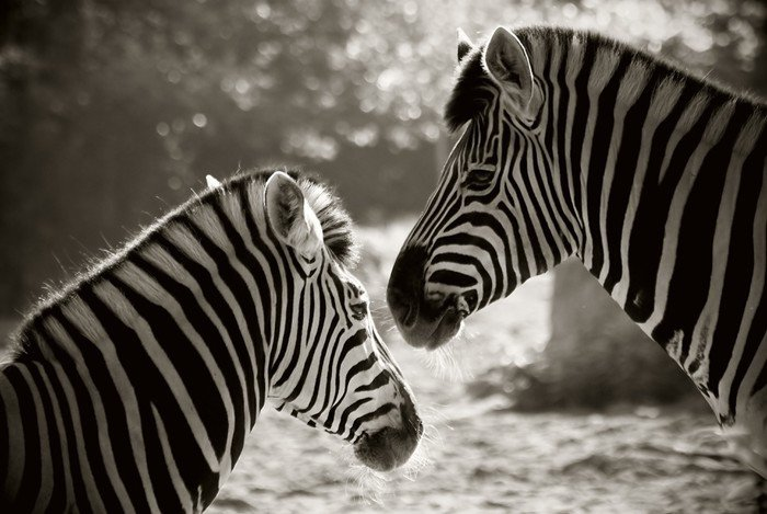 portrait of to zebra's, sepia look