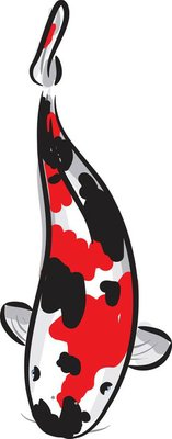 Red and black spotted Carp koi (breed Showa)