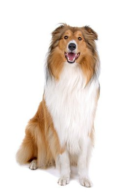 rough collie (scottish) scottish shepherd (Lassie)