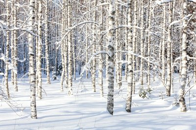 Snowy birch trunks