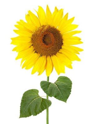 Sonnenblume mit Stiel