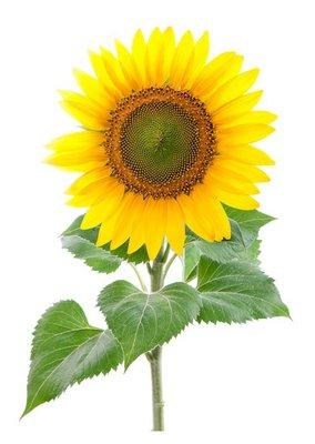 Sunflower. Close-up. Isolated. Studio