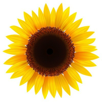 Sunflower isolated, vector.