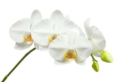 Ten day old white orchid isolated on white background.