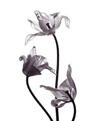 three tranparent tulips on white background
