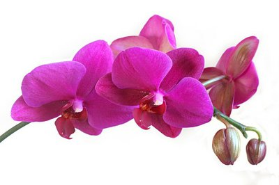 Tige orchidée Phalaenopsis violet avec boutons