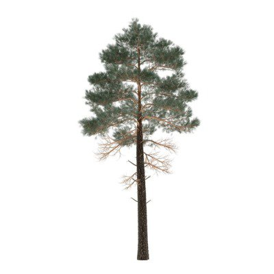 Tree pine isolated. Pinus