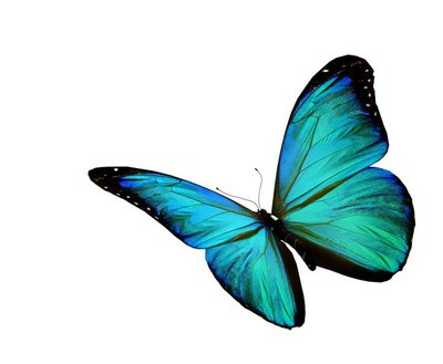 Turquoise butterfly flying, isolated on white background