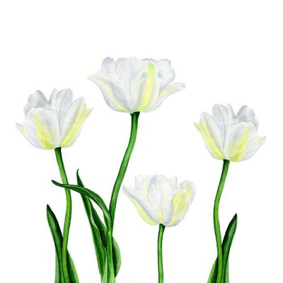 Watercolor illustration of a beautiful white tulip flowers