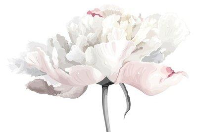White peony flower