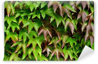 Background Texture Of Ivy Leaves Against A Garden Wall Wall Mural - Vinyl
