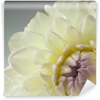 beautiful white dahlia flower, close up