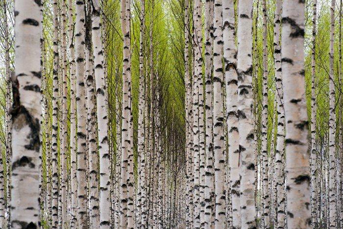 Wall Mural   Vinyl Birch Trees   Themes