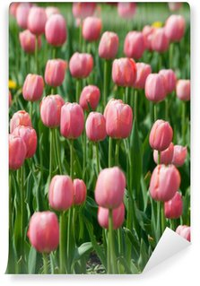 blossoming pink tulips