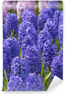 blue and pink hyacinths in the garden Wall Mural - Vinyl