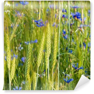 cornflowers in the corn