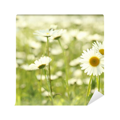 Daisy in a meadow rich in flowers at dawn wall mural for Daisy fuentes wall mural