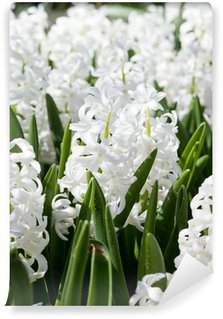 Field full with white Hyacinths in Holland Wall Mural - Vinyl