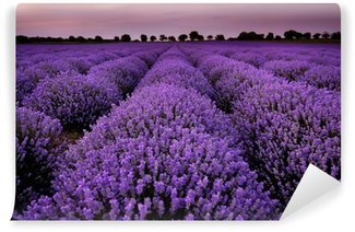 Wall Mural - Vinyl Fields of Lavender at sunset