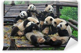 Giant panda bears gather for bamboo meal