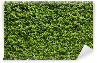 Green leaves wall background .