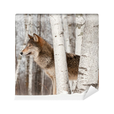 a look at the gray wolf aka canis lupus Finn denne og andre pins på cute critters & majestic elegance av  the mating of a gray wolf (various canis lupus  wolf with blue eyes aka how i picture.