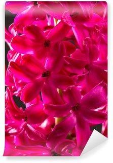 hyacinth pink flower closeup macro on black
