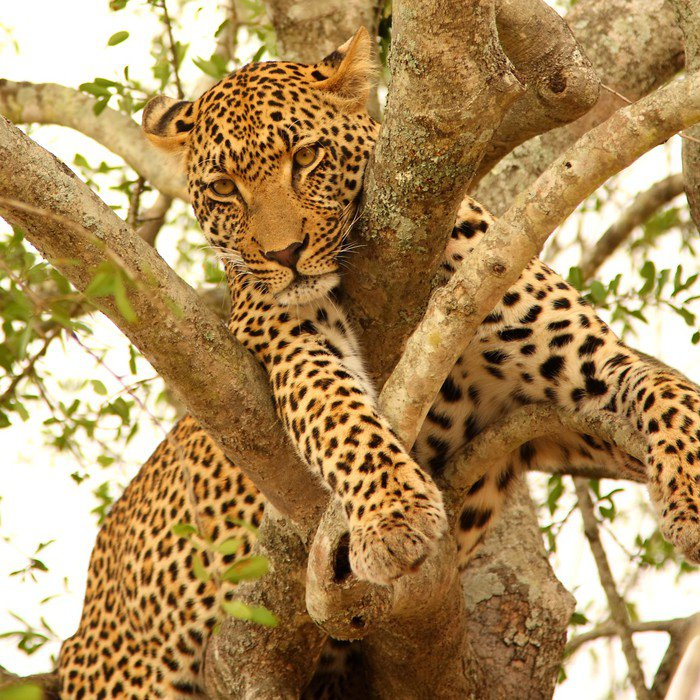 Wall Mural - Vinyl Leopard in a tree in the Sabi Sands Reserve - Themes