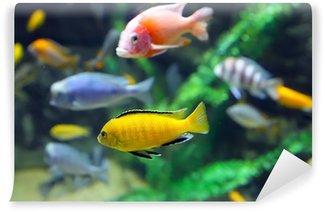 Multicolored Malawi cichlids. Fish of the genus Cynotilapia Wall Mural - Vinyl