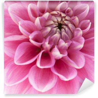 Pink dahlia close-up