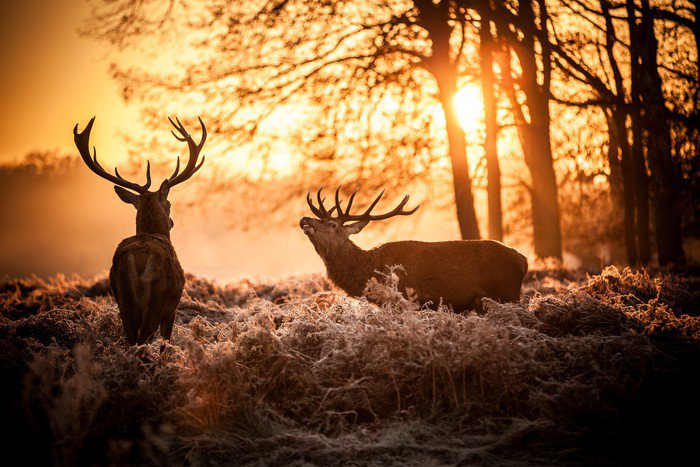Red deer in morning sun wall mural vinyl pixers we for Deer landscape wall mural