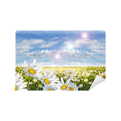 Springtime field of daisy flowers with blue sky and for Daisy fuentes wall mural
