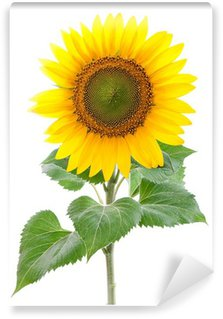 Sunflower. Close-up. Isolated. Studio Wall Mural - Vinyl