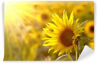 Sunflower on a meadow in the light of the setting sun Wall Mural - Vinyl