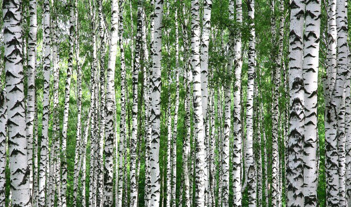 Wall Mural   Vinyl Trunks Of Summer Birch Trees   Themes