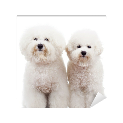 Two Bichon Frise Puppy Dogs Standing Wall Mural Vinyl Pixers We Live To Change
