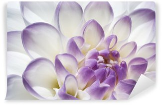 White and purple Dahlia close up