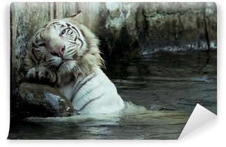 white bengal tiger scratching his back