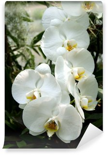 white orchid Wall Mural - Vinyl