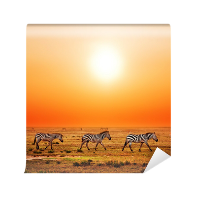 Zebras herd on african savanna at sunset safari in for African sunset wall mural