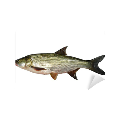 Asp predatory freshwater fish on white background vinyl for Predatory freshwater fish