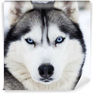 Close up on blue eyes of husky