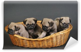 Four pug puppies. Washable Wall Mural