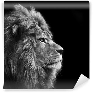 Washable Wall Mural Stunning facial portrait of male lion on black background in bla